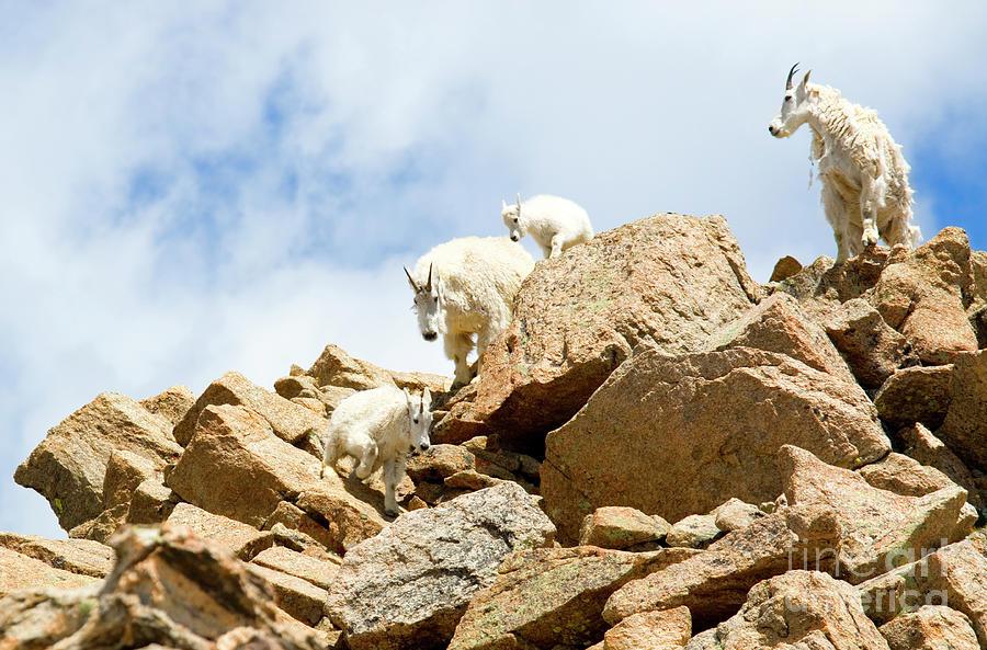 Herd Of Goats On Mount Massive Photograph