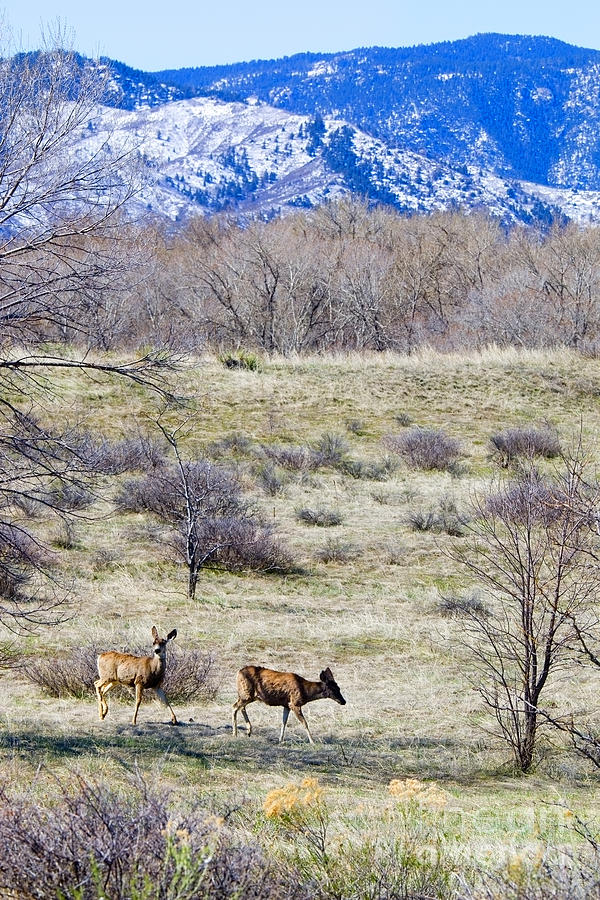 Herd Of Mule Deer Grazing At Chatfield Photograph