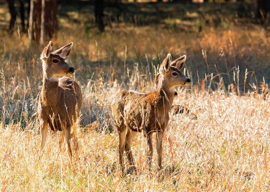 Herd Pair Of Mule Deer Photograph