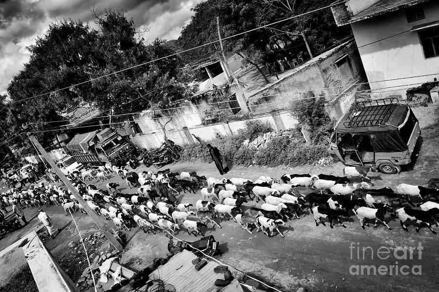 Rural Photograph - Herding Goats by Tim Gainey