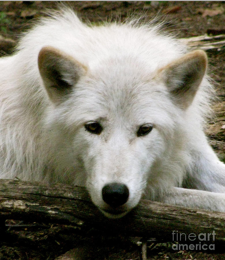 Arctic Wolf Photograph - Here S Looking At You by Debra     Vatalaro