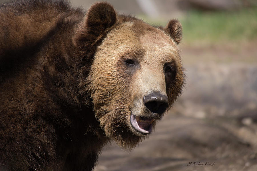Grizzly Bear Photograph - Heres Looking at you by ChelleAnne Paradis