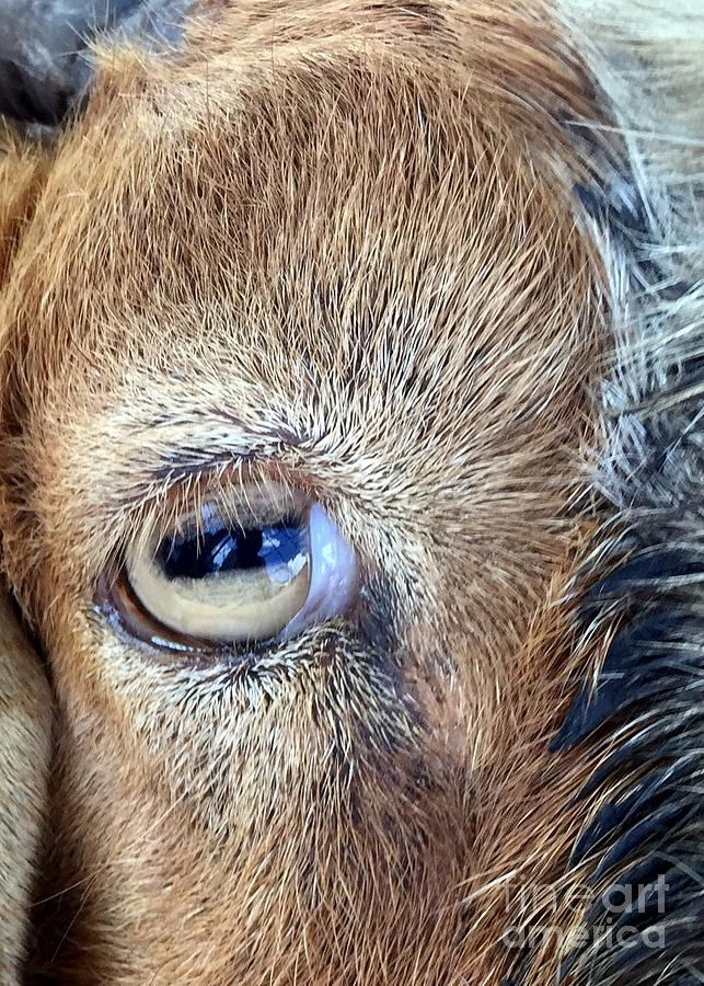Heres Looking At You Kid - The Truth About Goats Eyes Photograph