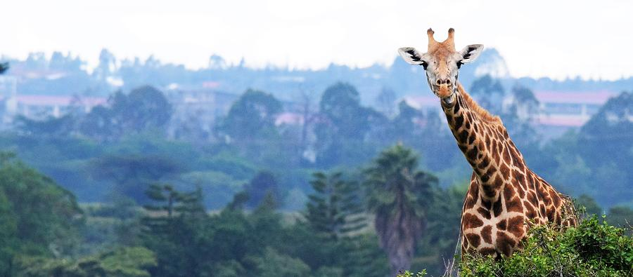 Safari Photograph - Heres looking at you kid.  Giraffe in Kenya Africa by Ron Bartels