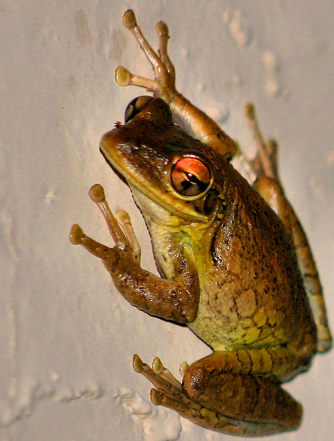 Treefrog Photograph - Heres Looking At You by Kristin Elmquist