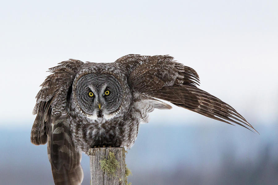 Great Grey Owl Photograph - Heres Looking At You by Linda Ryma