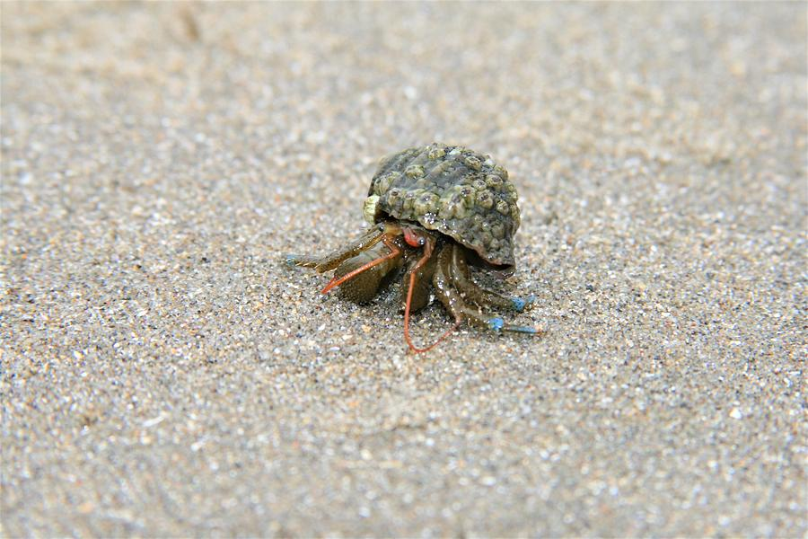 Crab Photograph - Herman The Hermit by Glenn Wachtman
