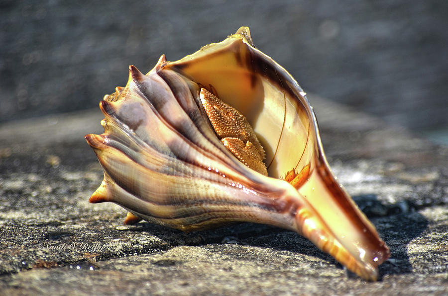 Hermit Crab Photograph - Hermit Crab In His Shell by Sandi OReilly