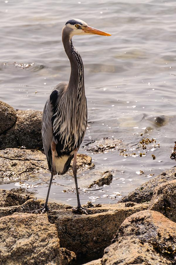 Heron At Lunch by Ken Foster