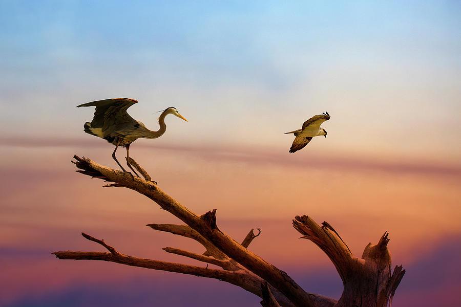 Heron And Osprey At Sunset Photograph