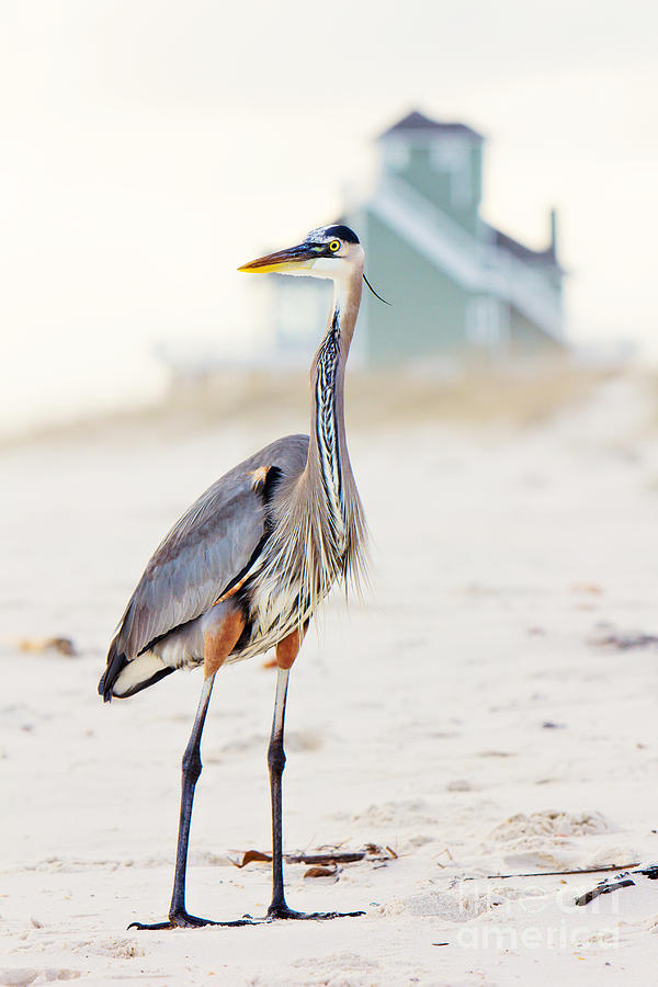 Heron Photograph - Heron and the Beach House by Joan McCool