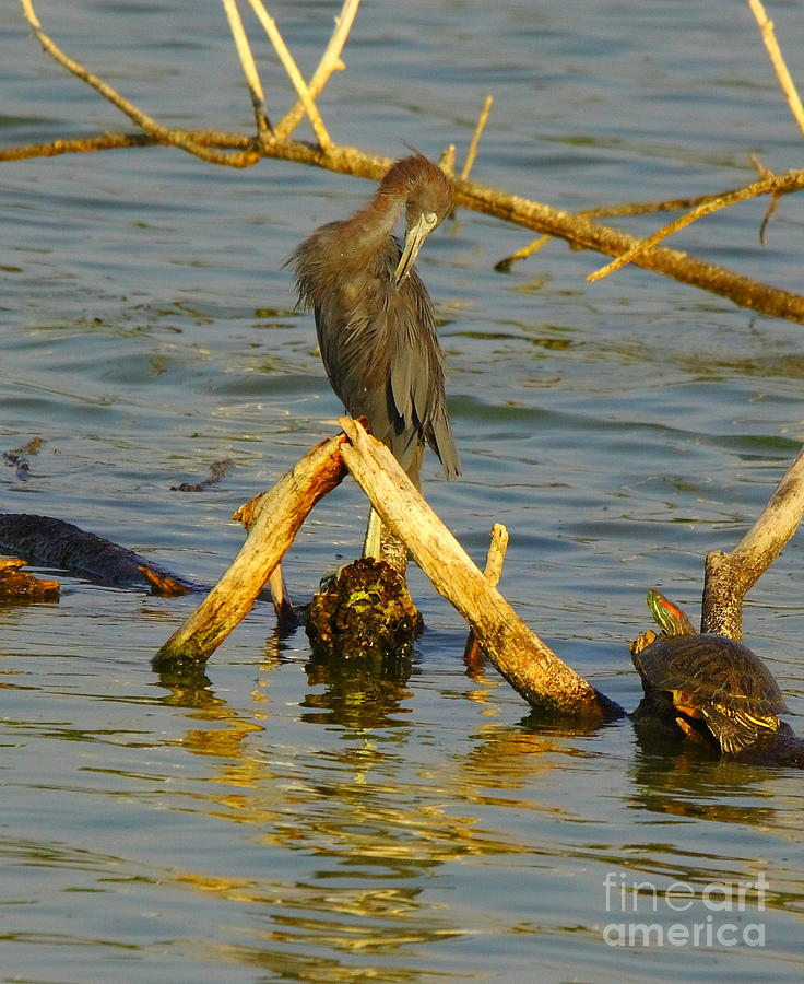 Nature Photograph - Heron And Turtle by Robert Frederick