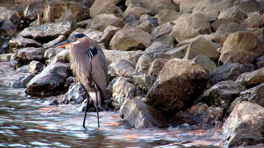 Heron Photograph - Heron At Sunset by Nicole I Hamilton