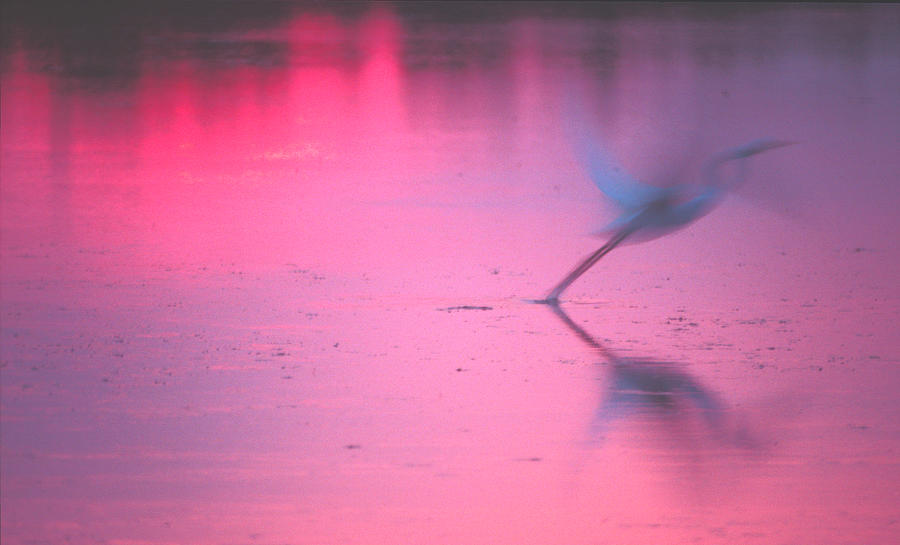 Heron at sunset by Ralph Fahringer