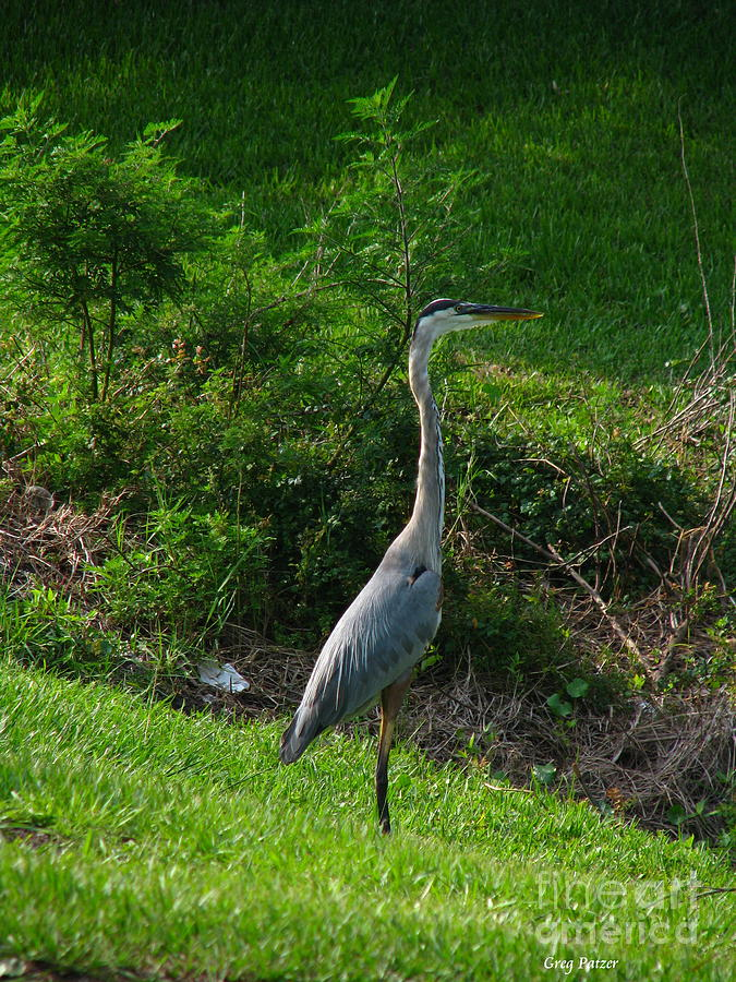 Patzer Photograph - Heron Blue by Greg Patzer
