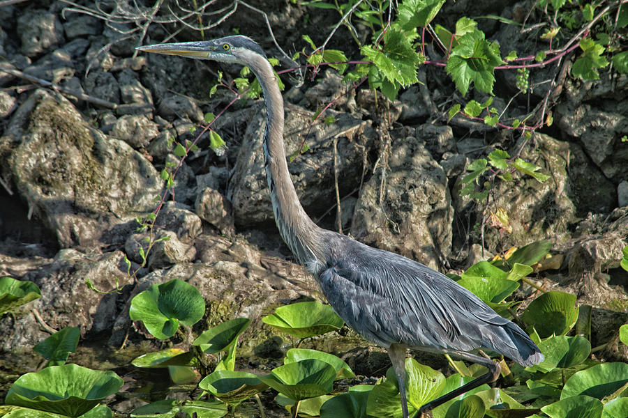 Great Blue Heron Photograph - Heron  by Gaby Swanson