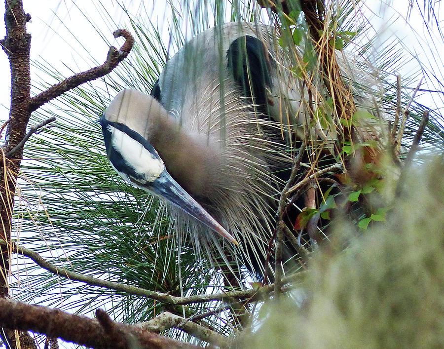 Heron in a Pine Tree by CARL SHEFFER
