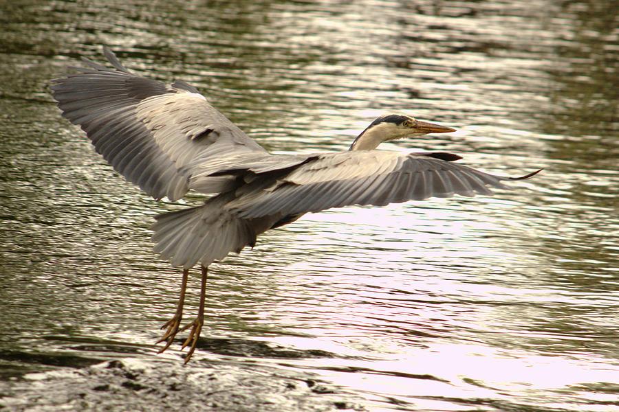 Heron In Flight by Adrian Wale