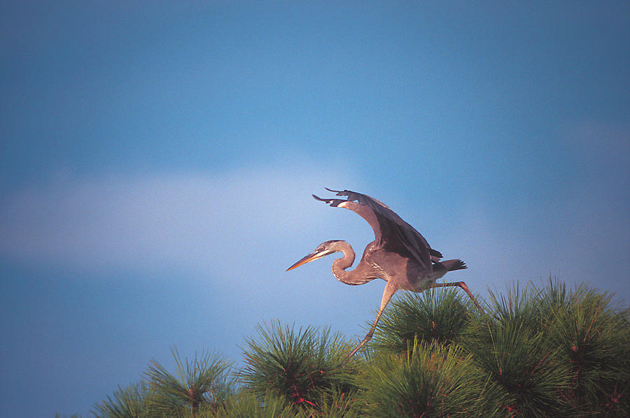 Heron in Tree by Ralph Fahringer