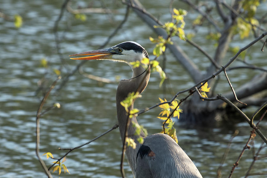 Heron Incognito by Shoeless Wonder