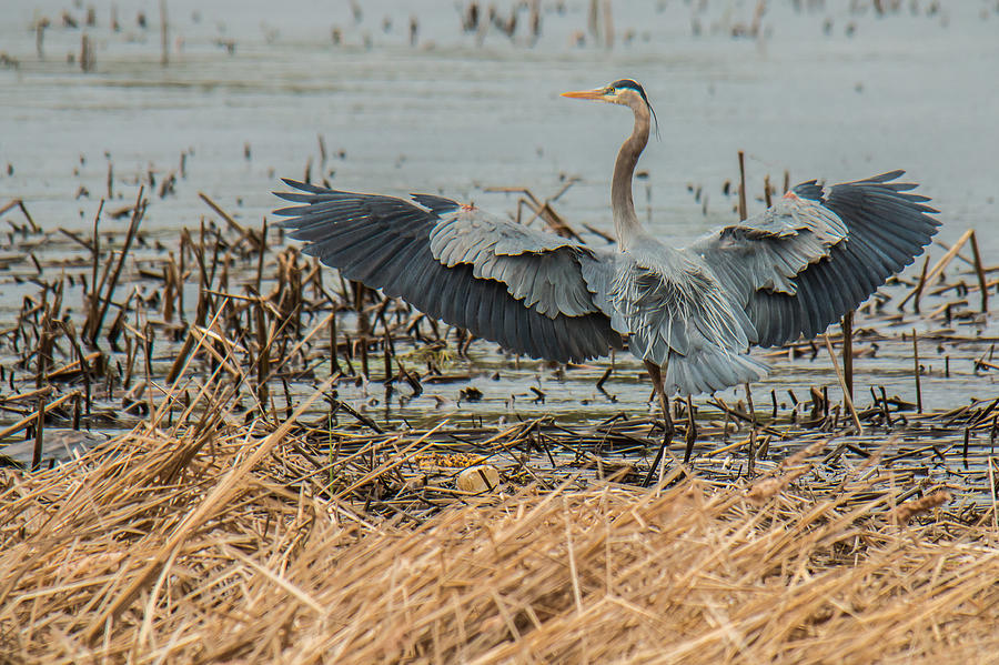 Heron  by Mike Hainstock