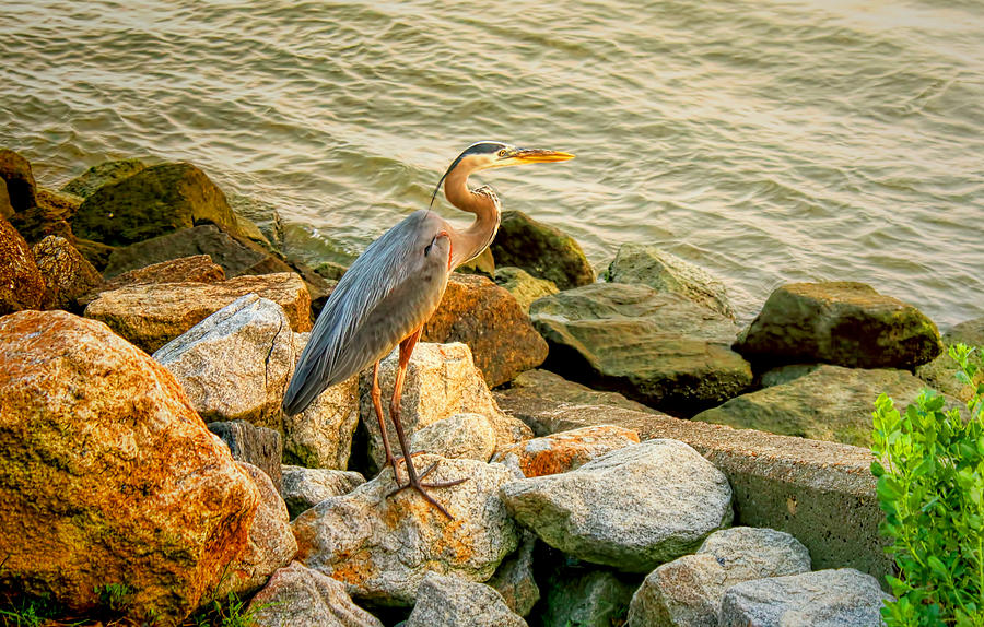 Great Blue Heron Photograph - Heron On The Rocks by Ola Allen