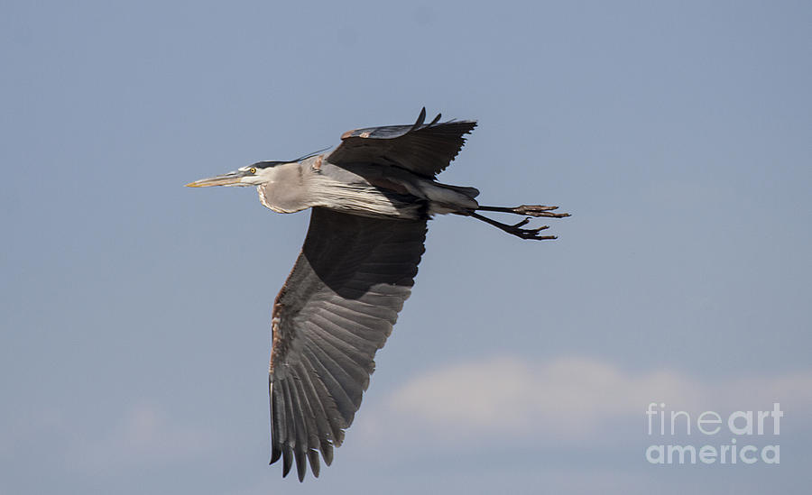 Heron Soaring In The Skies Photograph