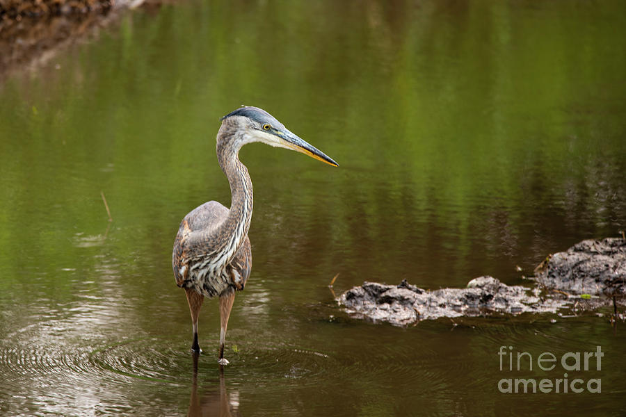 Heron with Attitude by Rod Wiens