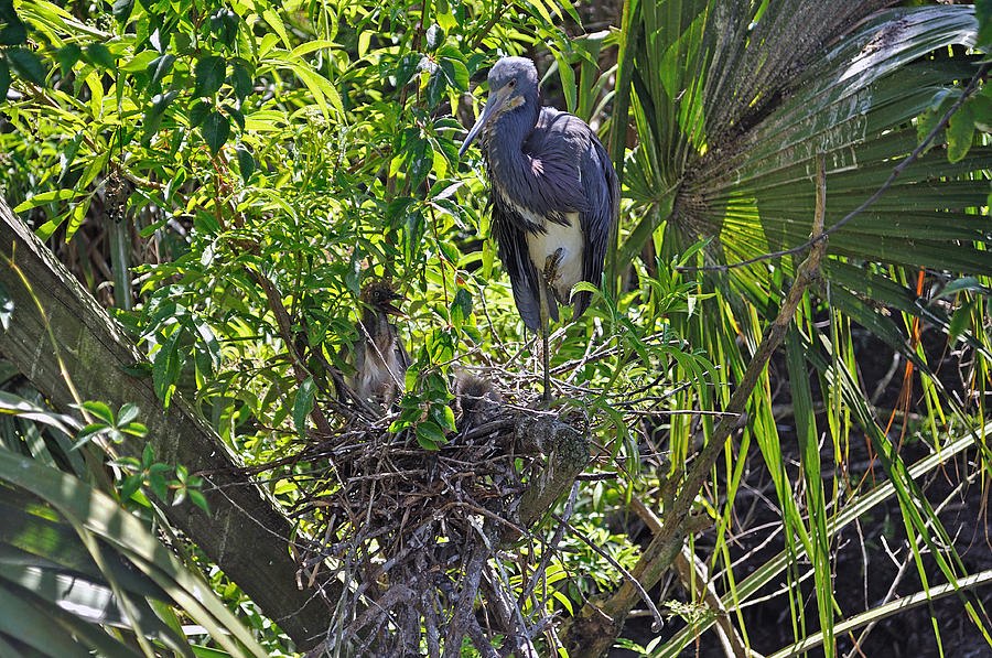Heron Photograph - Heron With Chick In Nest by Kenneth Albin