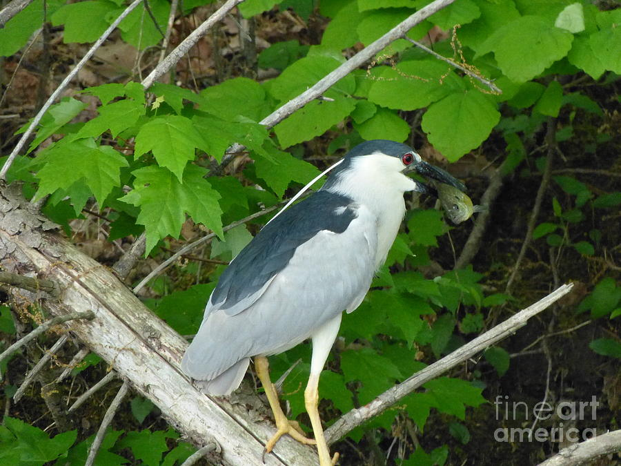 Heron with Dinner by Donald C Morgan