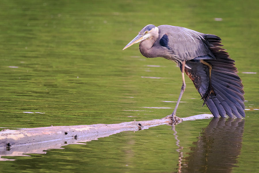 Canada Photograph - Heron Yoga by Windy Corduroy