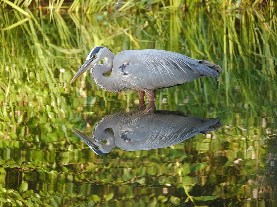 Heron's Reflection by Jane Ford