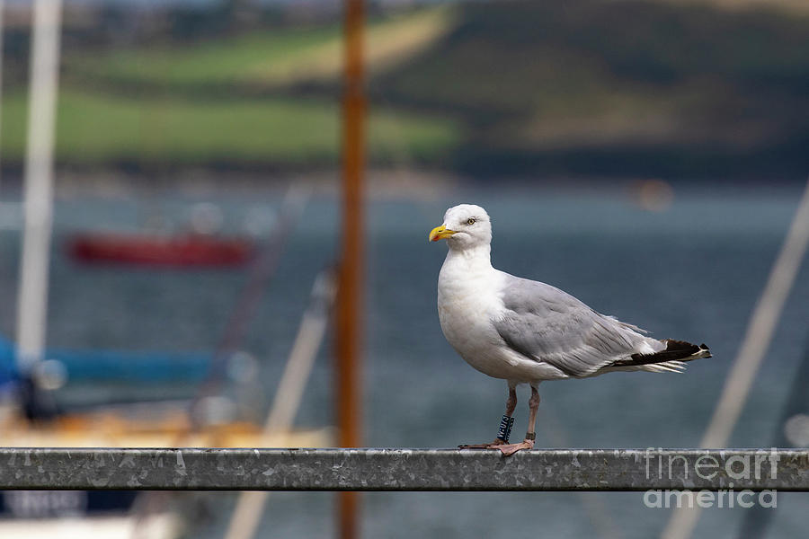 Herring Gull by Brian Roscorla