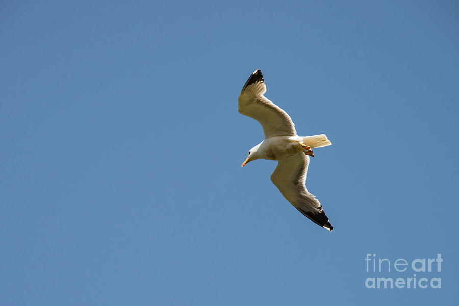 Princes Islands Photograph - Herring Gull In Flight by Bob Phillips