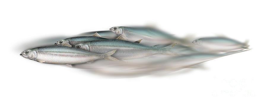 Fish Painting - Herring school of fish - Clupea - Nautical Art - Seafood Art - Marine Art - Game Fish by Urft Valley Art \ Matt J G  Maassen-Pohlen