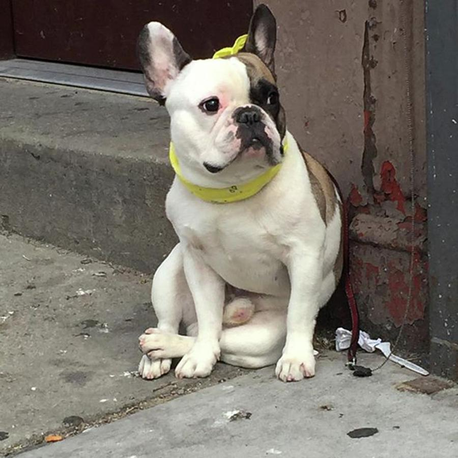 Bulldog Photograph - Hey, #bulldog! #harlem #nycdogs #nyclife by Gina Callaghan