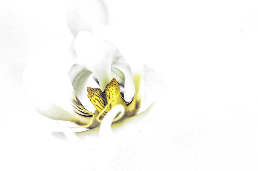 Orchid Photograph - Hi Key Orchid  by Euclid Viegas