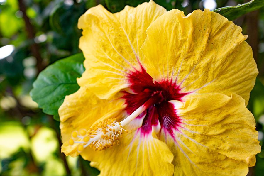 Hibiscus 1 by Martin Naugher