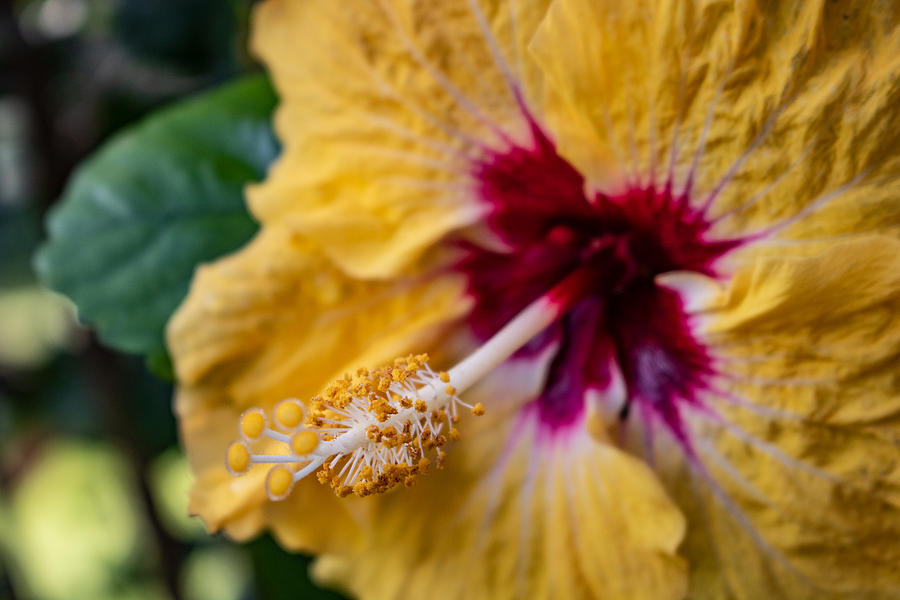 Hibiscus 2 by Martin Naugher