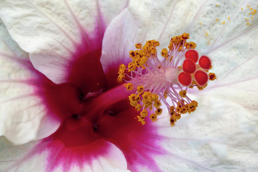 Hibiscus Photograph - Hibiscus 3 by George Sanquist