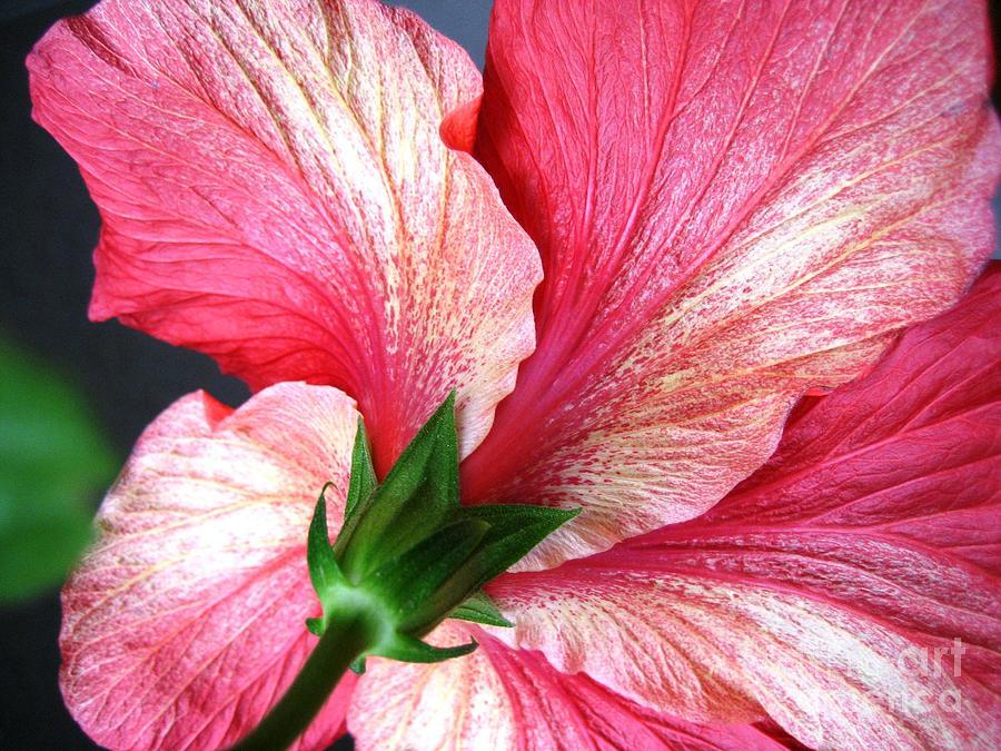 Hibiscus #5 by Cindy Schneider