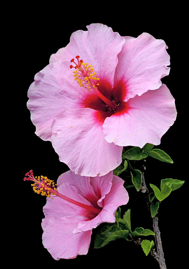Hibiscus Photograph - Hibiscus 7 V1 by George Sanquist