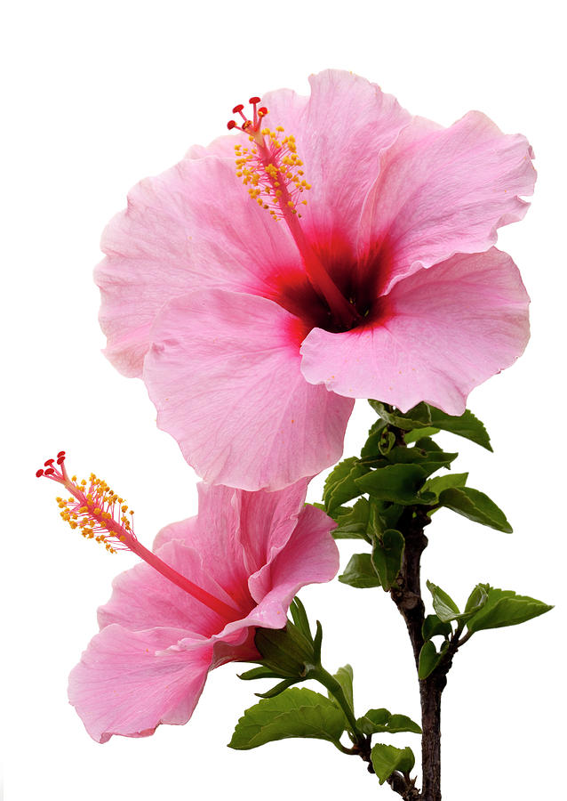 Hibiscus Photograph - Hibiscus 7 V2 by George Sanquist