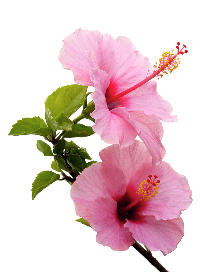 Hibiscus Photograph - Hibiscus 7 V3 by George Sanquist