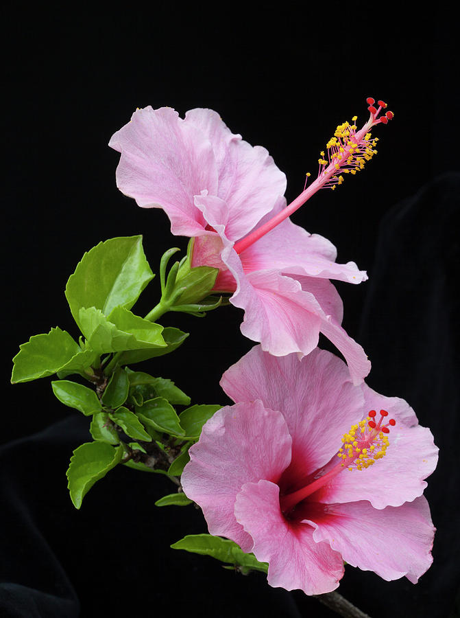 Hibiscus Photograph - Hibiscus 7 V4 by George Sanquist