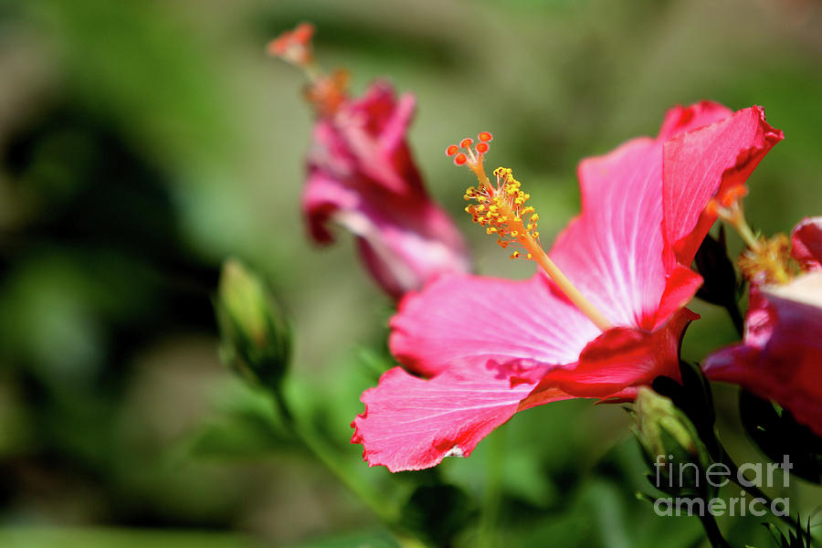 Flower Photograph - Hibiscus Bloom by Alan Look