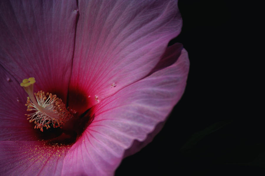 Flowers Photograph - Hibiscus Bloom And Pollen by Martin Morehead