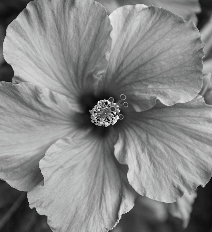 Orange Hibiscus Blossom In Black And White Photograph By Robert