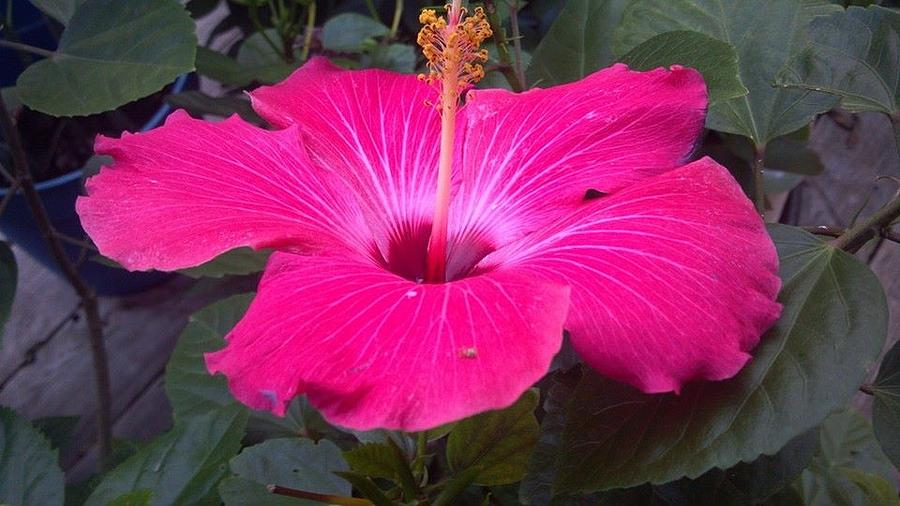 Pink Photograph - Hibiscus by Brenda Winters