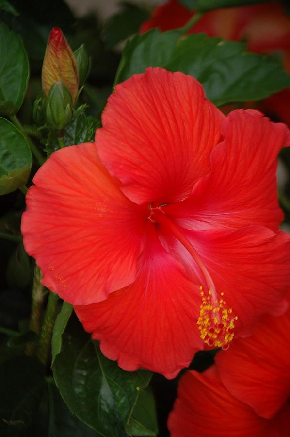 Red Flower Photograph - Hibiscus by Christopher Butler
